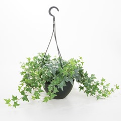 11 english-ivy
