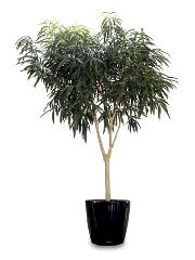 12 Ficus bennendijkii 'Alii'