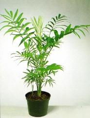 2 Chamadorea elegans