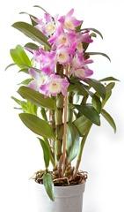 5 Dendrobium orchid
